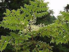 Настойка аралии - вытяжка из корней аралии маньчжурской